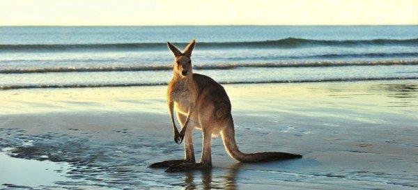 australia-kangaroo1-traveltema-600x273