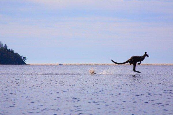 2 - Spot kangaroos in the wild (2) sydney melbourne touring