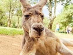 Australia Travel Tips & Facts you Need to Know  kangaroooo