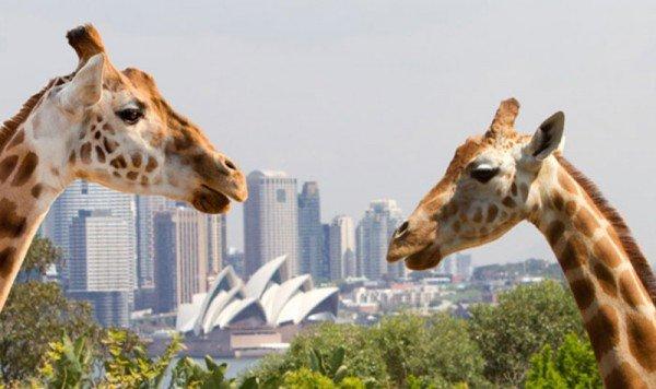 qantas-giraffe-sydney-australia-blog