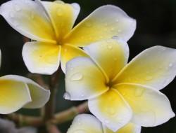 tiaare flowers
